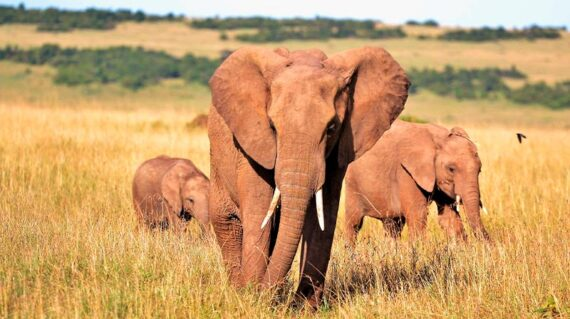 Kenia - Elefantes