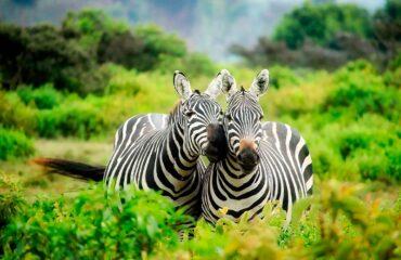 Kenya -  cebras