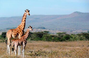 Kenya Jirafas