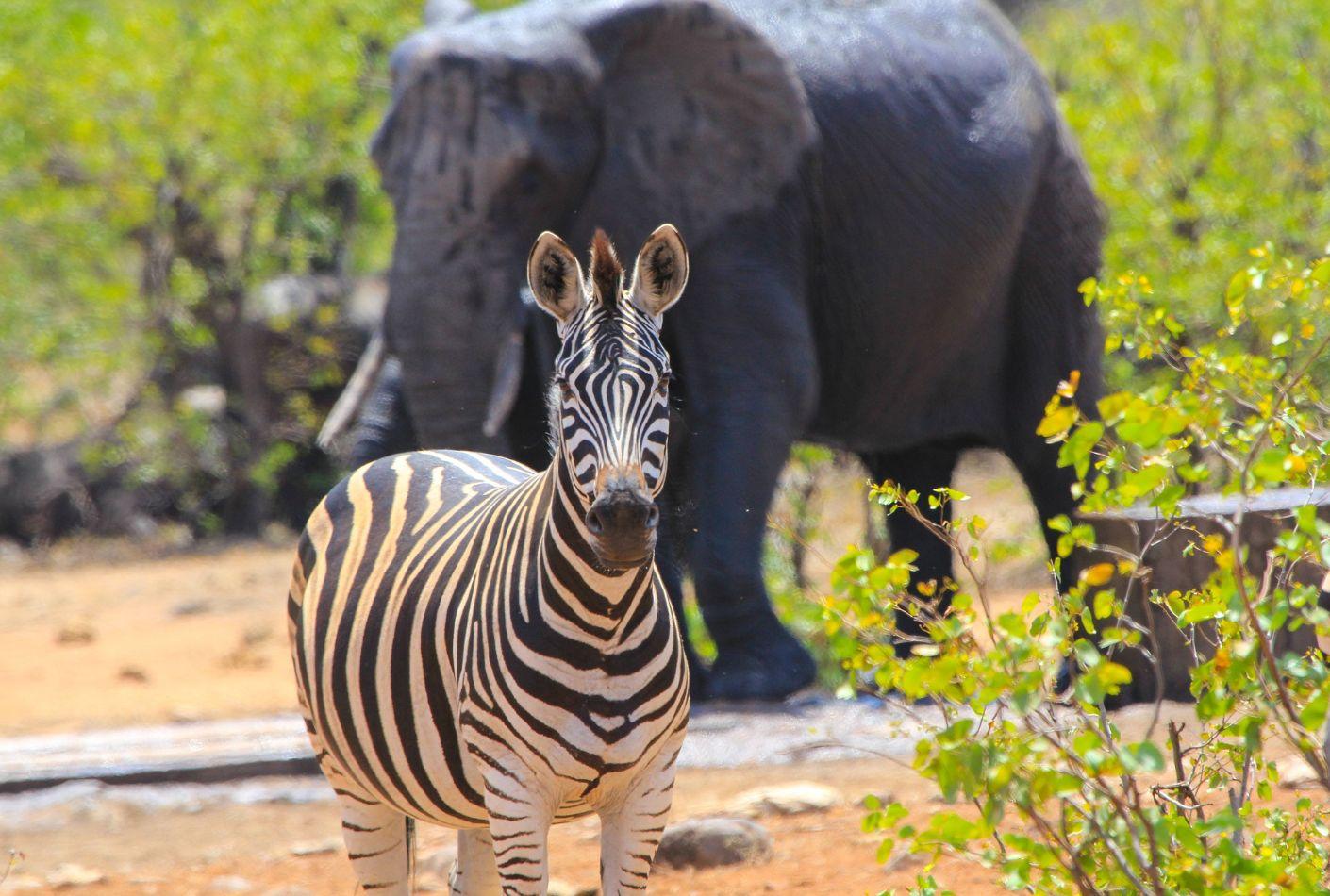 Cebra y elefante en el Parque Kruger