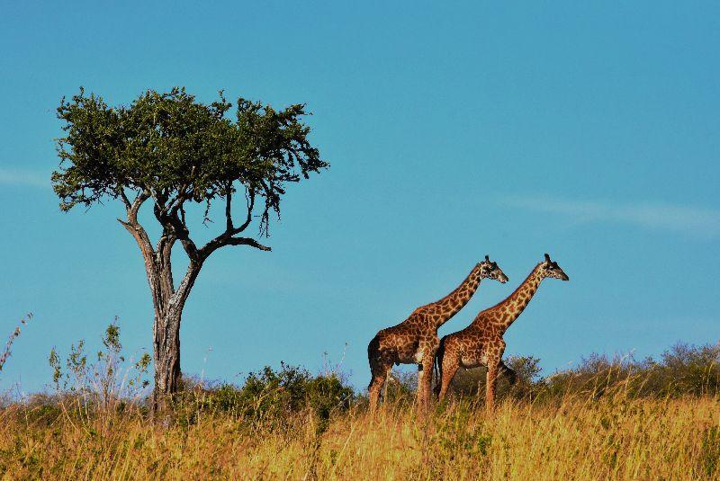 Jirafas en el Serengueti, Tanzania