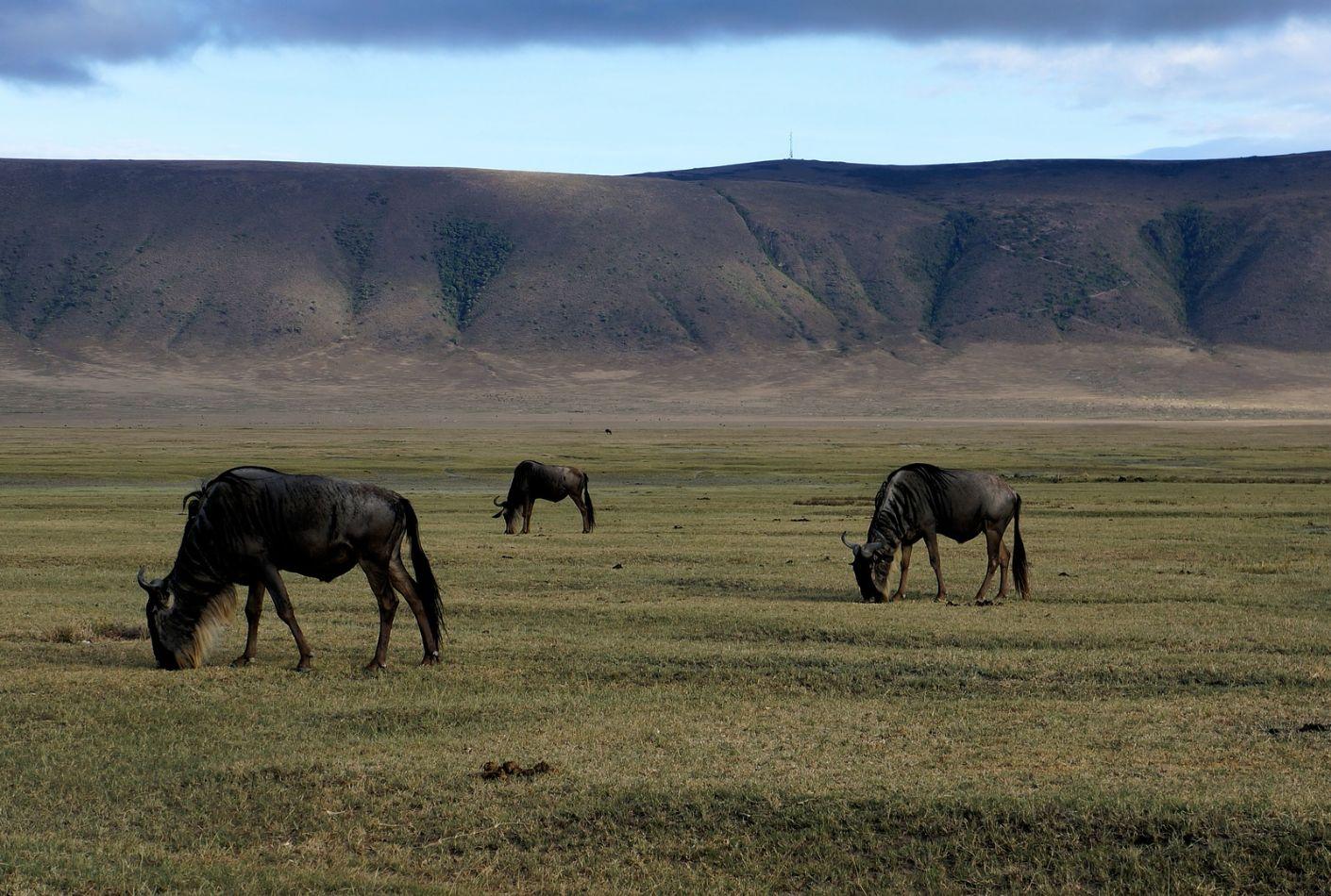 Ñus en Ngorongoro, Tanzania