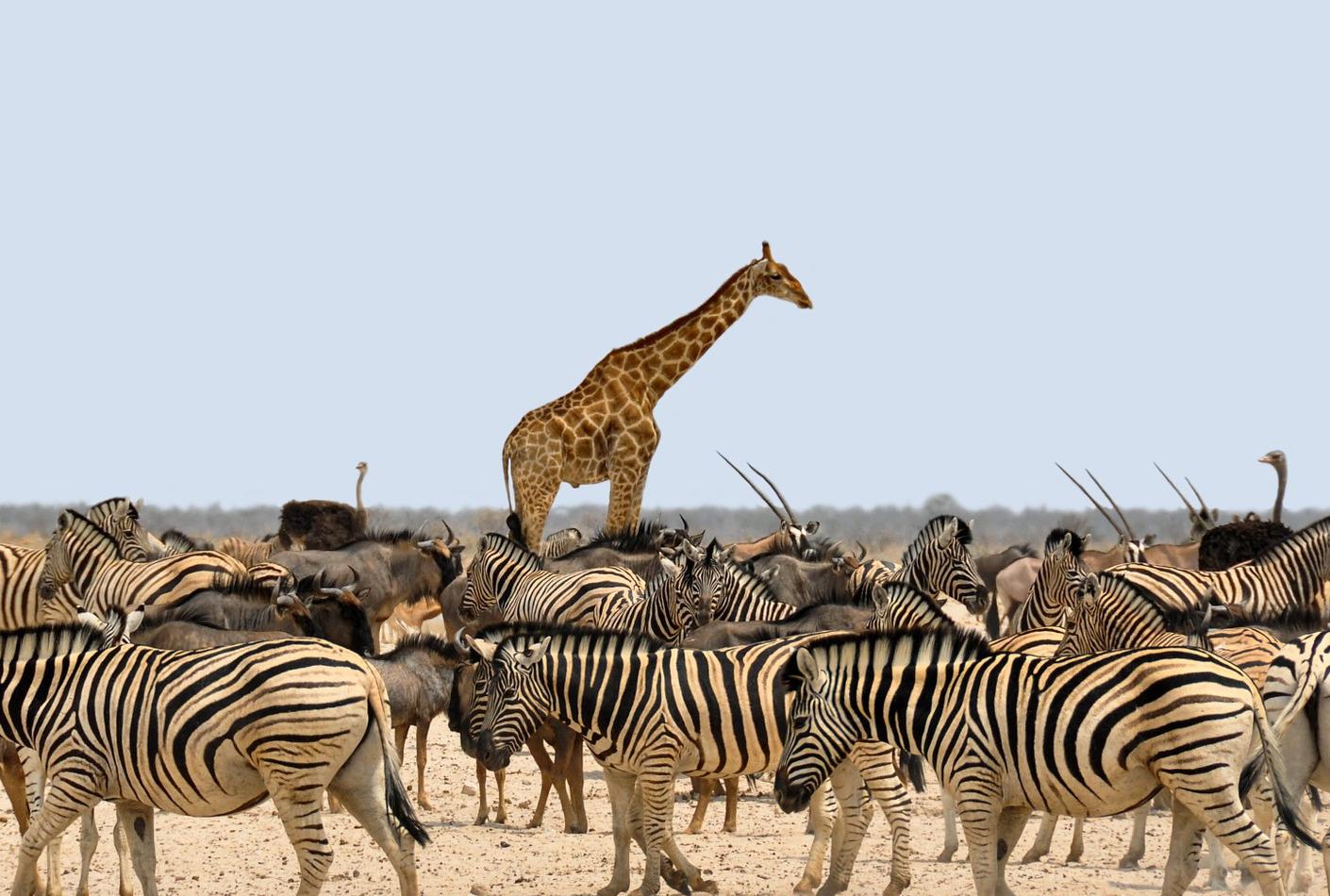 Jirafas y Cebras salvajes en Africa