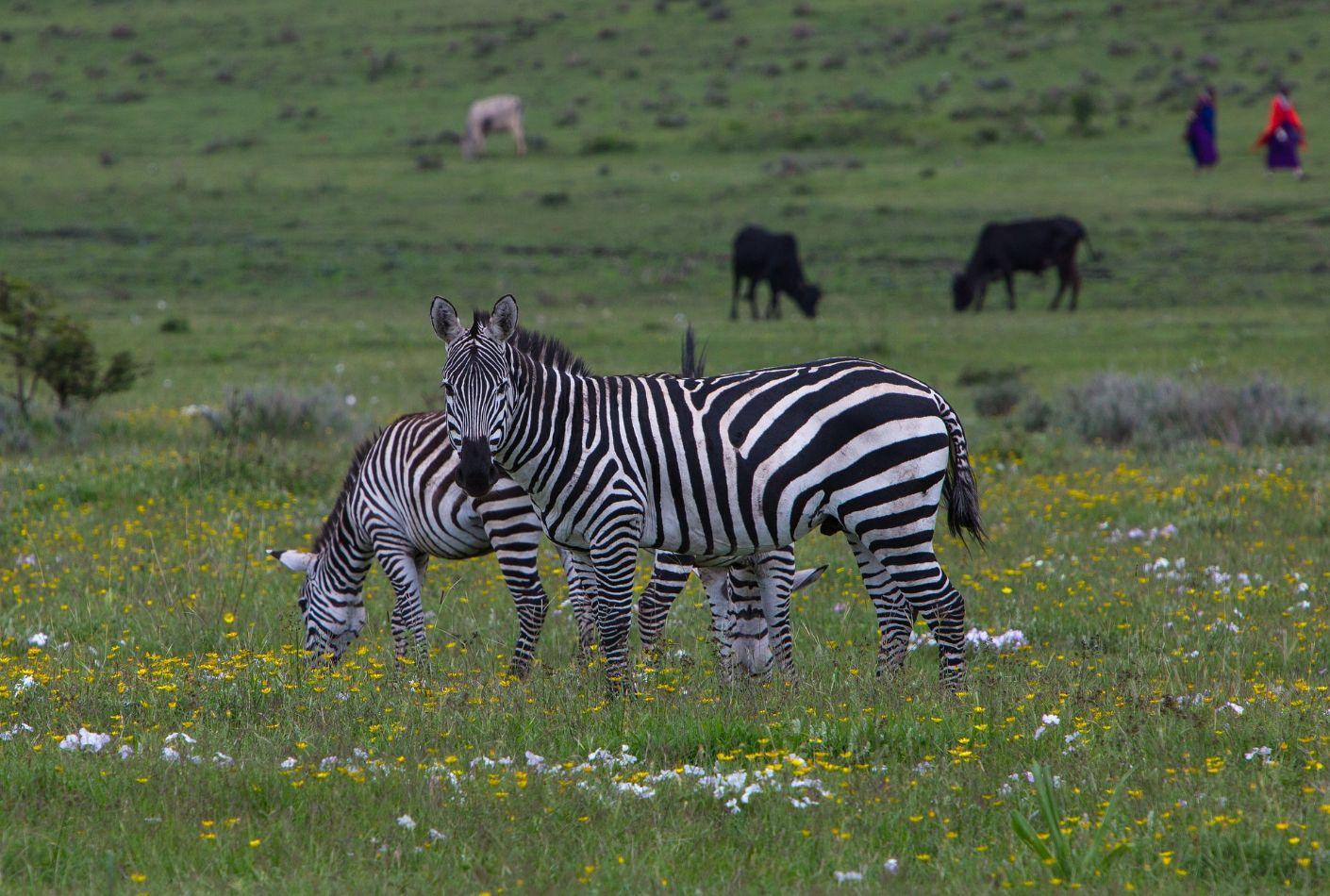 Cebras en el cráter de Ngorongoro