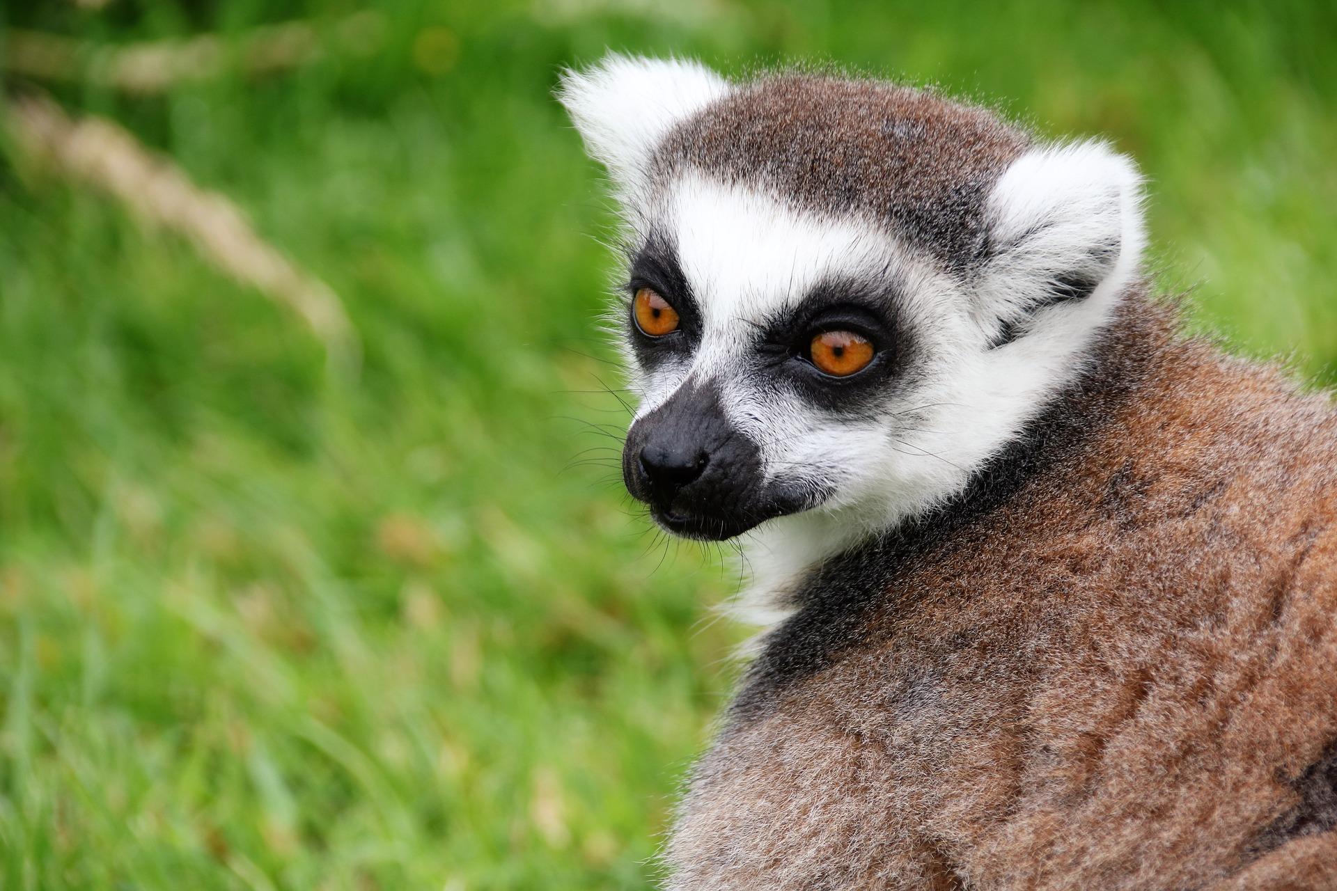 Famoso Lemur