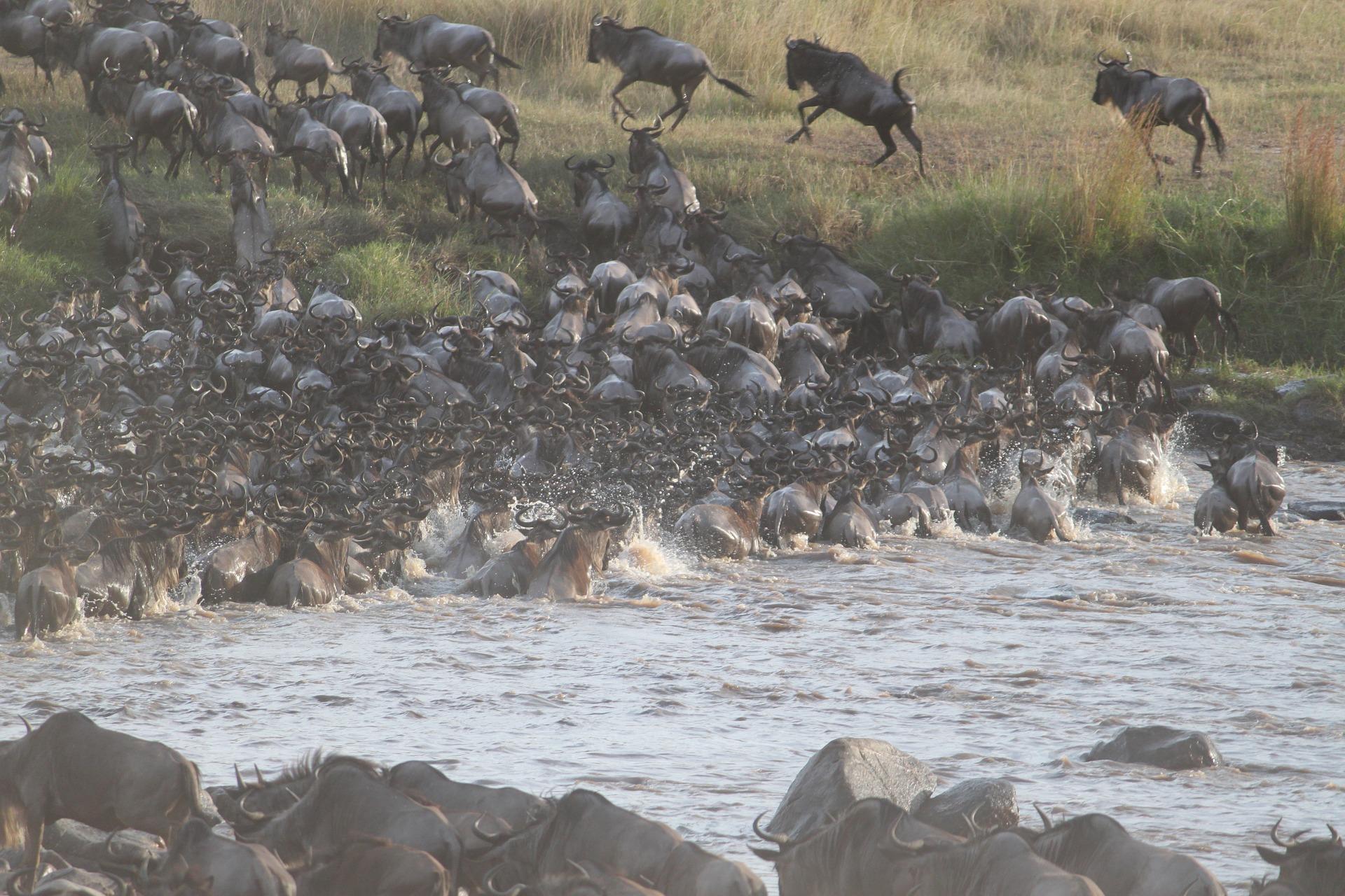 Migración de ñus