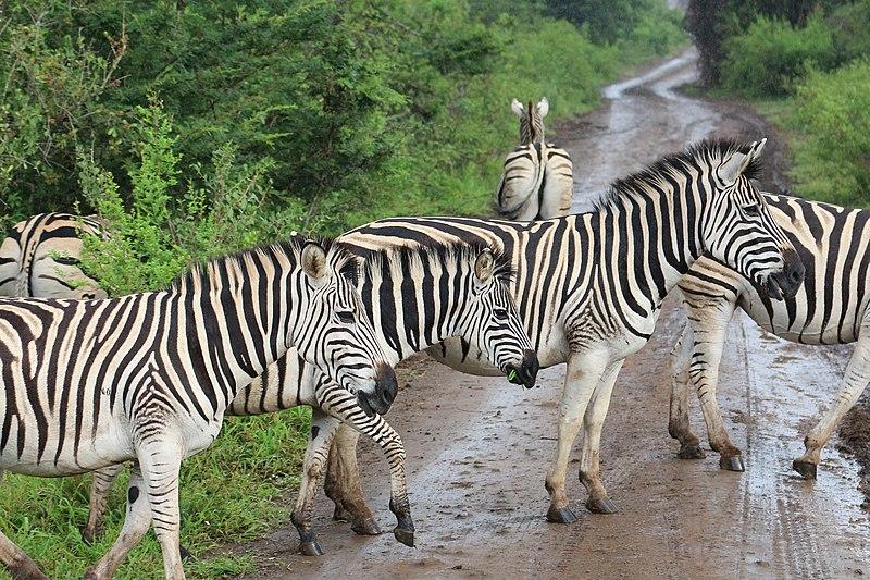 Parque Hluhluwe Umfolozi (Kwazulu Natal)