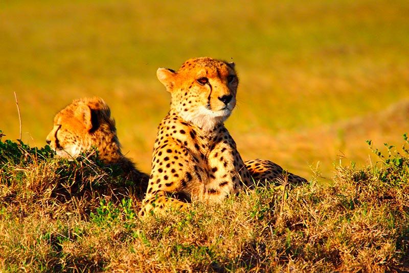 Kenia Cheetah
